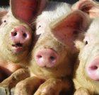 PRO AGRO solicită guvernului aprobarea hotărârii pentru pesta porcină