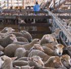 ANSVSA a demarat negocieri pentru deschiderea exportului de animale și produse de origine animală în Regatul Arabiei Saudite