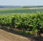 Protecția fitosanitară la vița de vie şi pomii fructiferi – completă și sigură cu produsele BASF