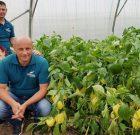 Seminis a lansat noul hibrid de ardei gras PIEDONE