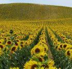BASF și Corteva Agriscience™ – Divizia de Agricultură a DowDuPont, au semnat un contract de licență pentru Sistemul de Producție Clearfield® Plus pentru floarea soarelui