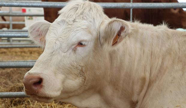 vaca romvac