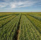 Limagrain vine cu noi soiuri în portofoliul de cereale păioase