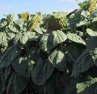 Fermierii campioni la floarea-soarelui cu hibrizii Pioneer, din județele Buzău și Ialomița
