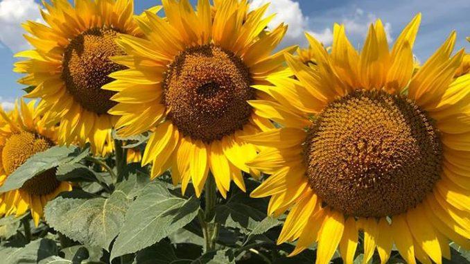 floarea soarelui EAB