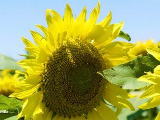 LG floare