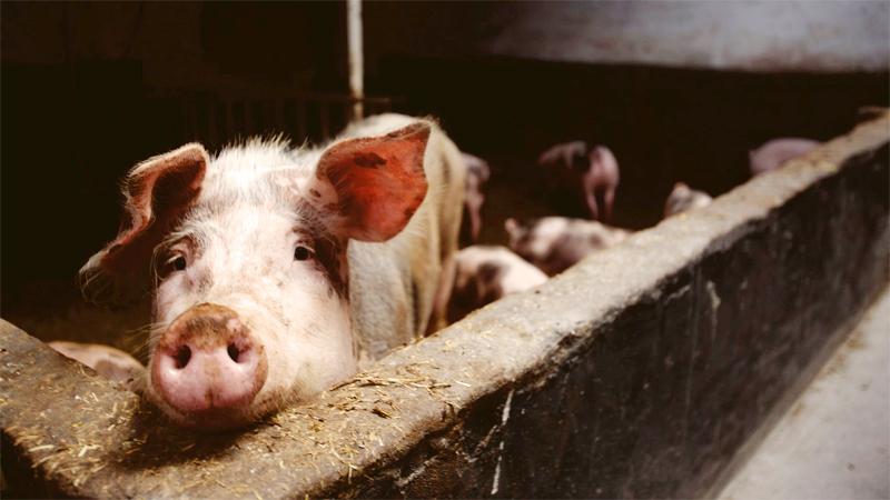 pndr pesta porcina