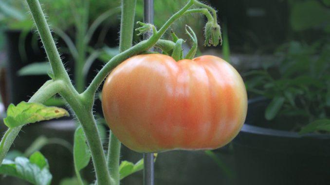 program tomate