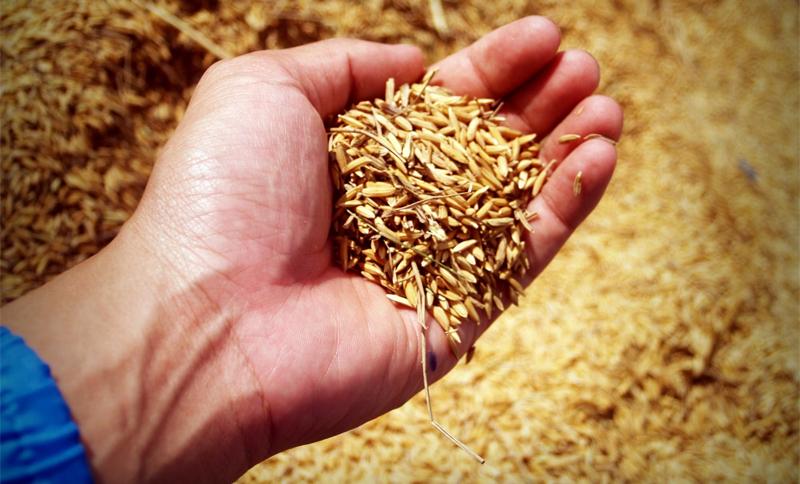 cereale palma