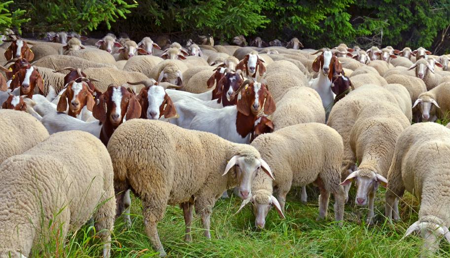 ovine caprine