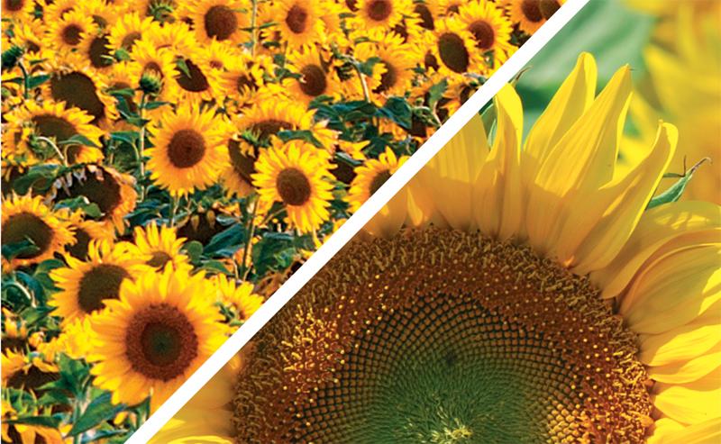 Corteva floare800